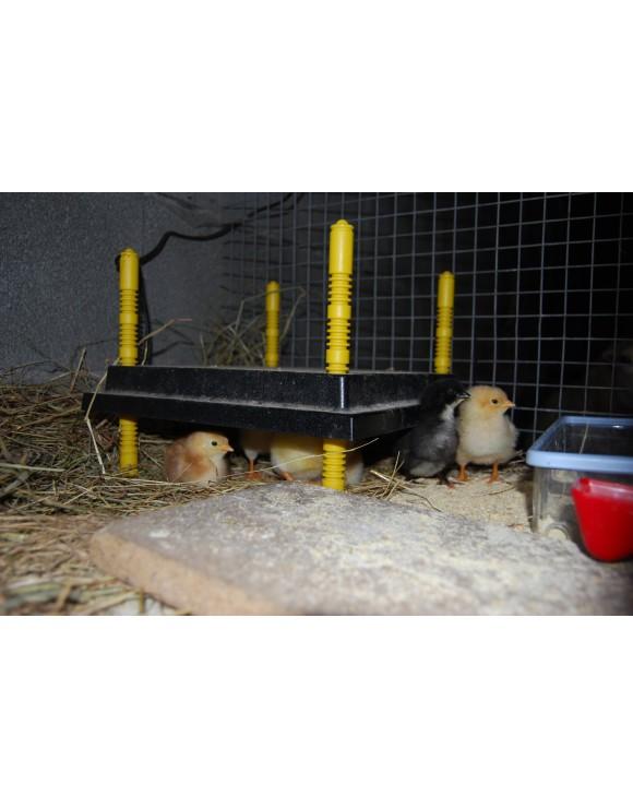 Criadero pollitos